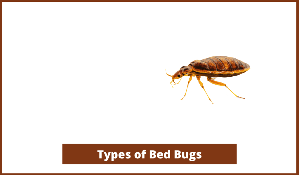 Bed Bug Types